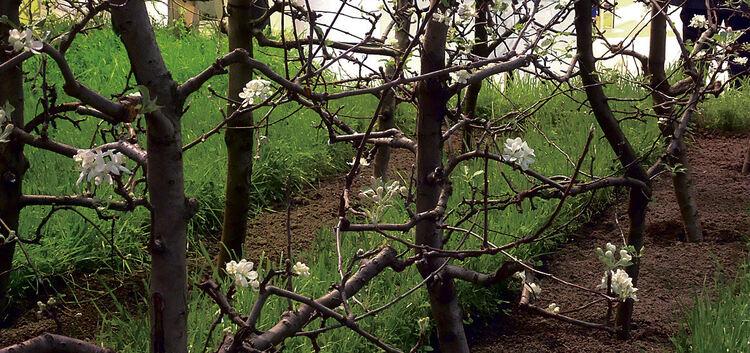 Obstbaum Spalier  Amazing Obstbaum Spalier With Obstbaum